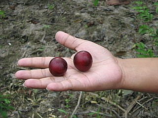 Camu camu (Myrciaria dubia) dosage it is very important to know that Camu camu fruit has the highest recorded amount of natural vitamin C known on the planet.